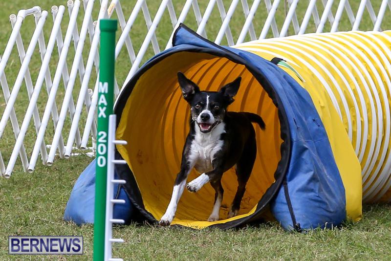 Dogs-Agility-Bermuda-November-7-2015-24