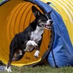 Dogs Agility Bermuda, November 7 2015-25