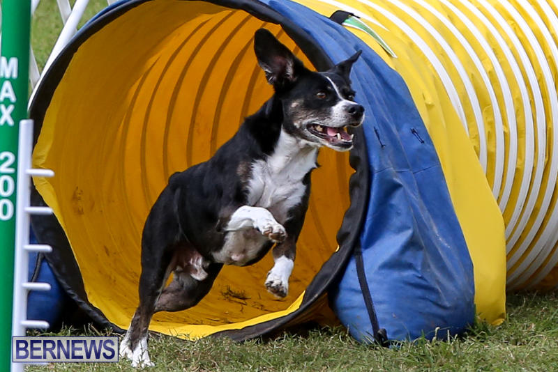 Dogs-Agility-Bermuda-November-7-2015-25