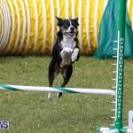 Dogs Agility Bermuda, November 7 2015-26