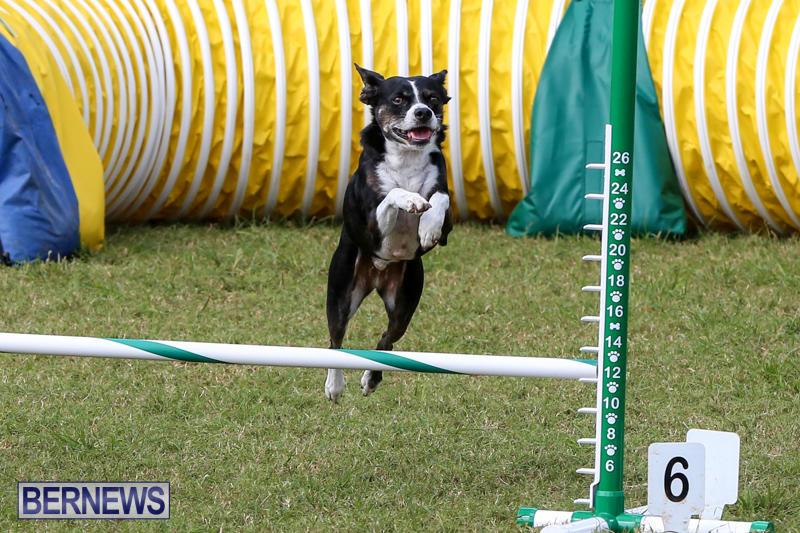 Dogs-Agility-Bermuda-November-7-2015-26
