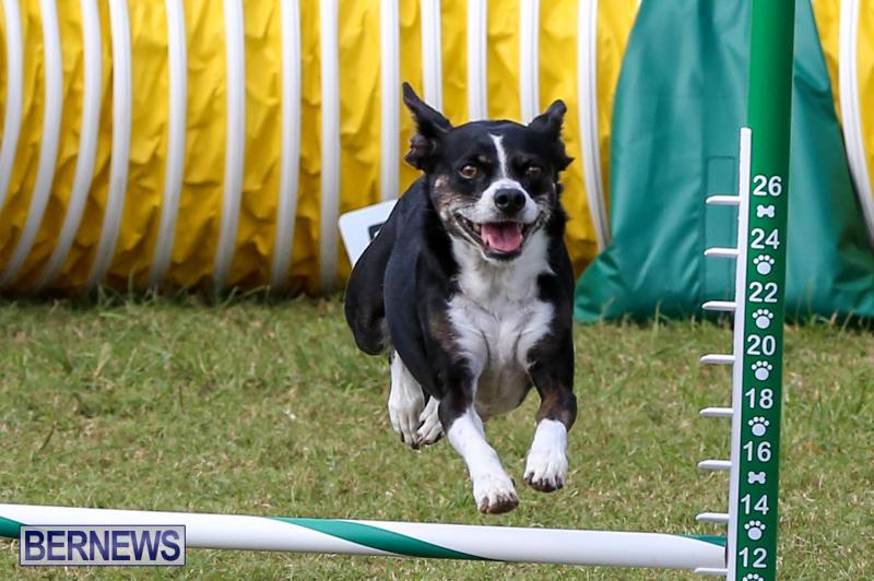 Dogs-Agility-Bermuda-November-7-2015-27