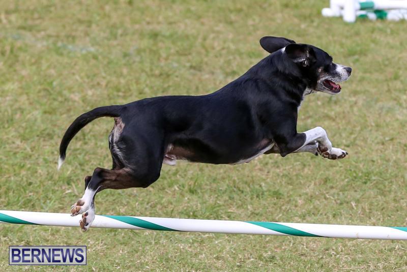 Dogs-Agility-Bermuda-November-7-2015-28