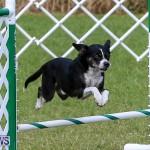 Dogs Agility Bermuda, November 7 2015-29