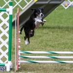 Dogs Agility Bermuda, November 7 2015-30