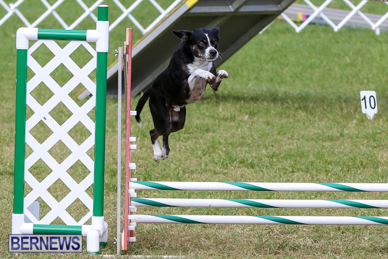 Dogs-Agility-Bermuda-November-7-2015-30