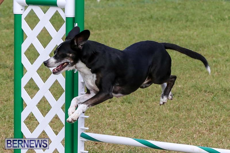 Dogs-Agility-Bermuda-November-7-2015-32