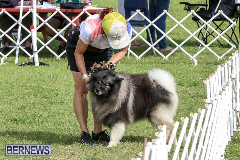 Dogs-Agility-Bermuda-November-7-2015-34