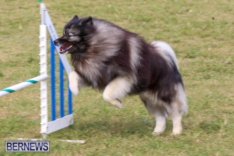 Dogs-Agility-Bermuda-November-7-2015-38