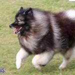 Dogs Agility Bermuda, November 7 2015-39
