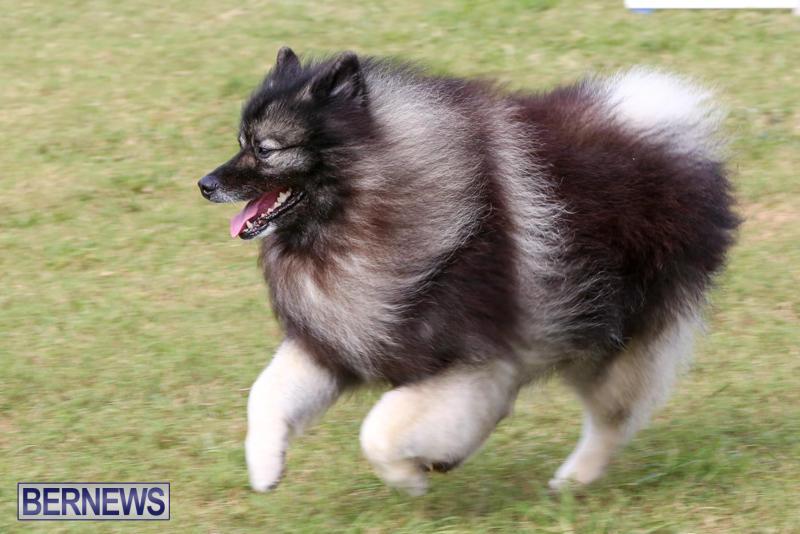 Dogs-Agility-Bermuda-November-7-2015-39