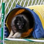 Dogs Agility Bermuda, November 7 2015-40