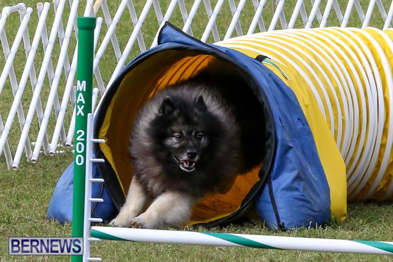 Dogs-Agility-Bermuda-November-7-2015-40