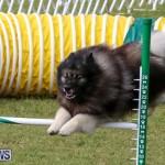 Dogs Agility Bermuda, November 7 2015-41