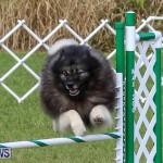 Dogs Agility Bermuda, November 7 2015-42