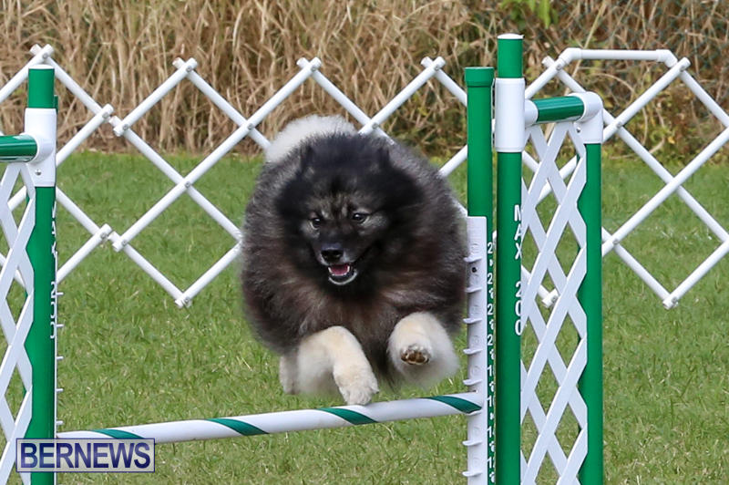 Dogs-Agility-Bermuda-November-7-2015-42
