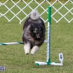 Dogs Agility Bermuda, November 7 2015-43