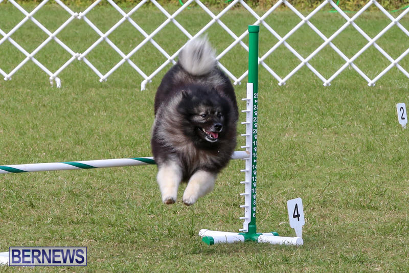 Dogs-Agility-Bermuda-November-7-2015-43