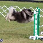 Dogs Agility Bermuda, November 7 2015-44