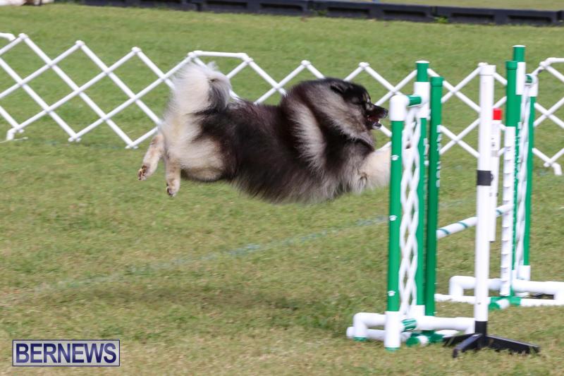 Dogs-Agility-Bermuda-November-7-2015-44