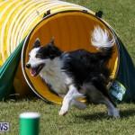 Dogs Agility Bermuda, November 7 2015-46