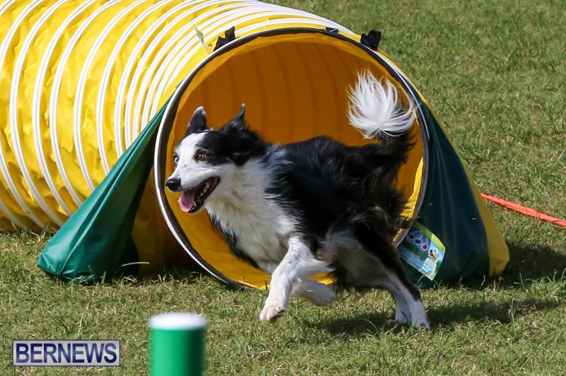 Dogs-Agility-Bermuda-November-7-2015-46