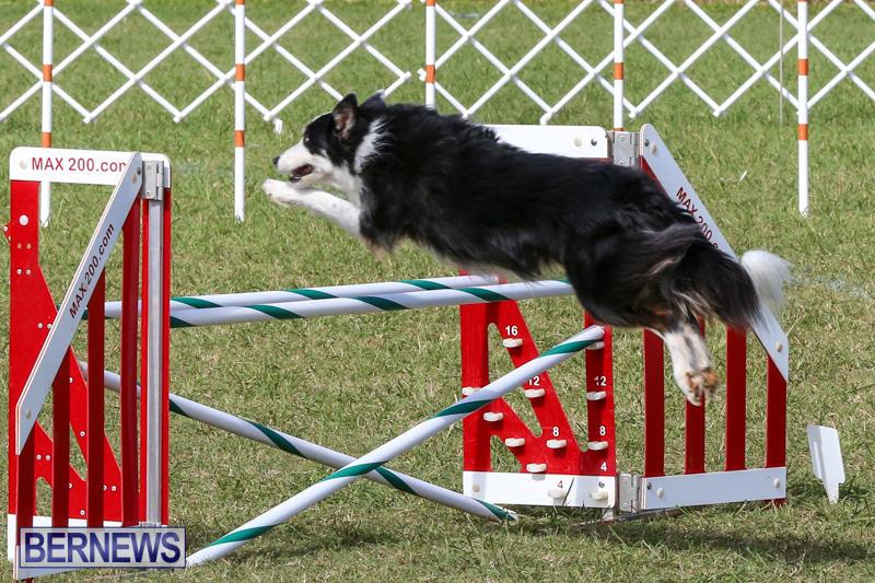 Dogs-Agility-Bermuda-November-7-2015-47