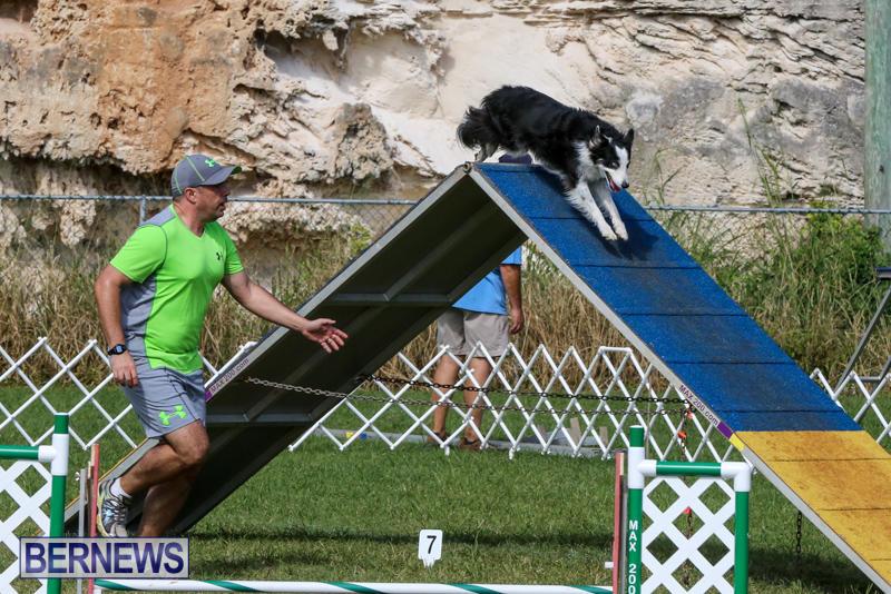 Dogs-Agility-Bermuda-November-7-2015-48