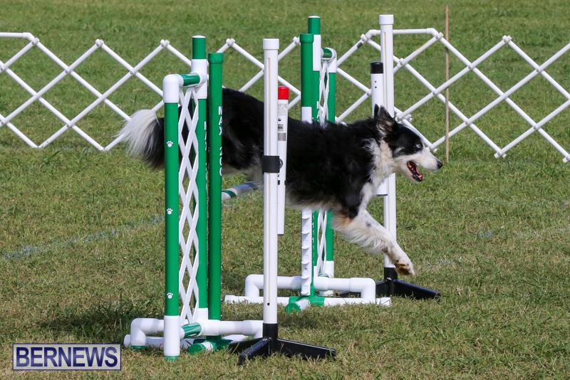 Dogs-Agility-Bermuda-November-7-2015-49