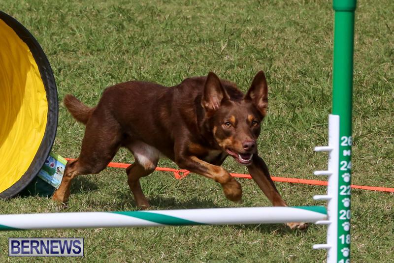 Dogs-Agility-Bermuda-November-7-2015-50