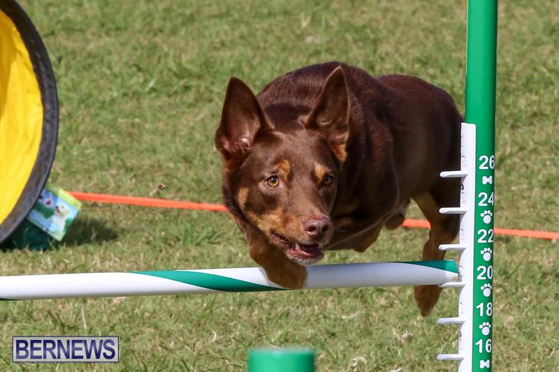 Dogs-Agility-Bermuda-November-7-2015-51