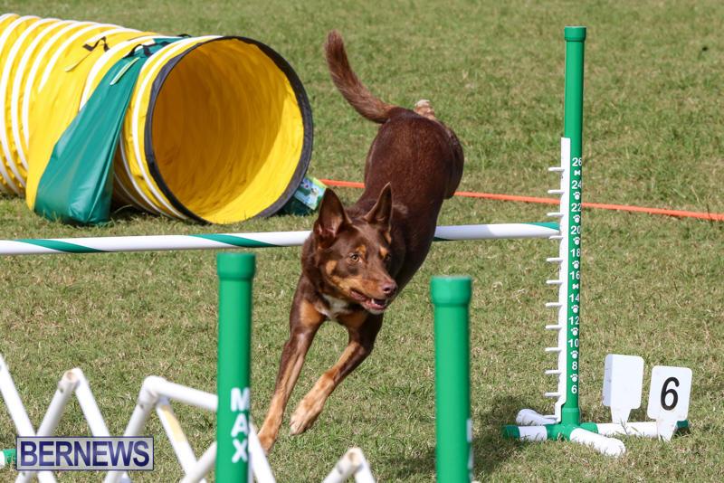 Dogs-Agility-Bermuda-November-7-2015-52