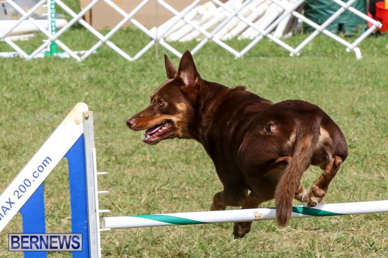 Dogs-Agility-Bermuda-November-7-2015-53
