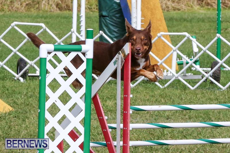 Dogs-Agility-Bermuda-November-7-2015-54