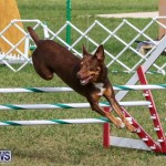 Dogs Agility Bermuda, November 7 2015-55