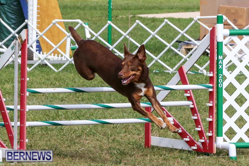 Dogs-Agility-Bermuda-November-7-2015-55