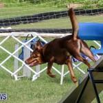 Dogs Agility Bermuda, November 7 2015-56