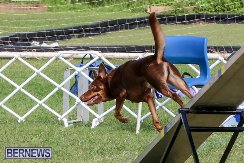 Dogs-Agility-Bermuda-November-7-2015-56
