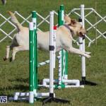 Dogs Agility Bermuda, November 7 2015-6