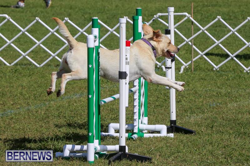Dogs-Agility-Bermuda-November-7-2015-6