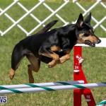 Dogs Agility Bermuda, November 7 2015-9