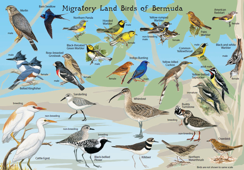 Audubon bird card2 Bermuda Dec 20 2015