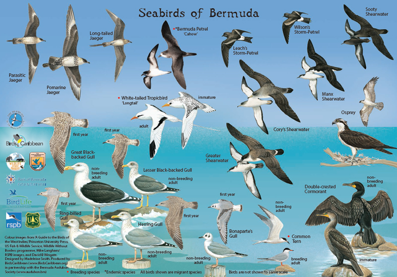 Audubon bird card3 Bermuda Dec 20 2015
