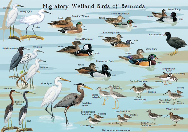 Audubon bird card4 Bermuda Dec 20 2015