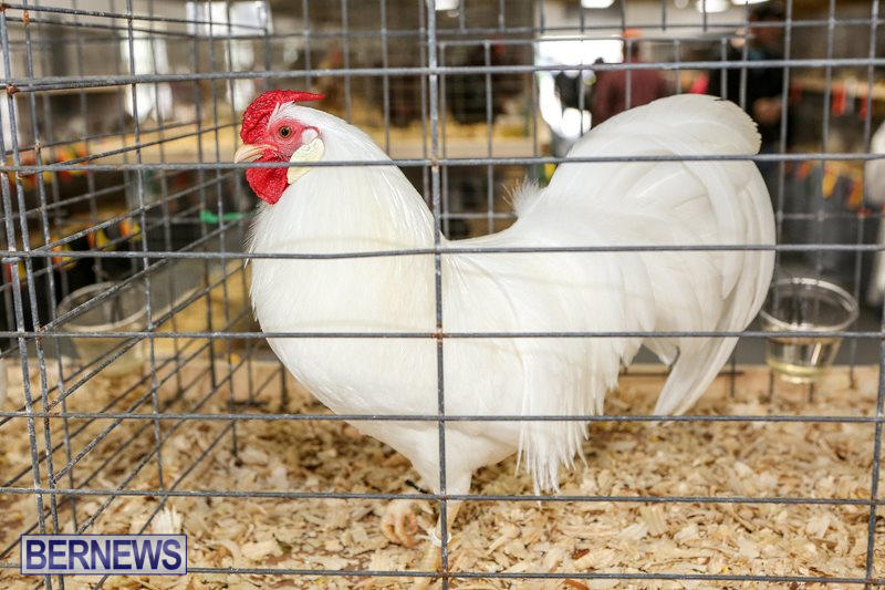 Poultry-Show-Bermuda-February-20-2016-15