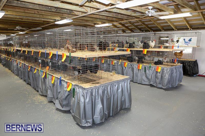 Poultry-Show-Bermuda-February-20-2016-19
