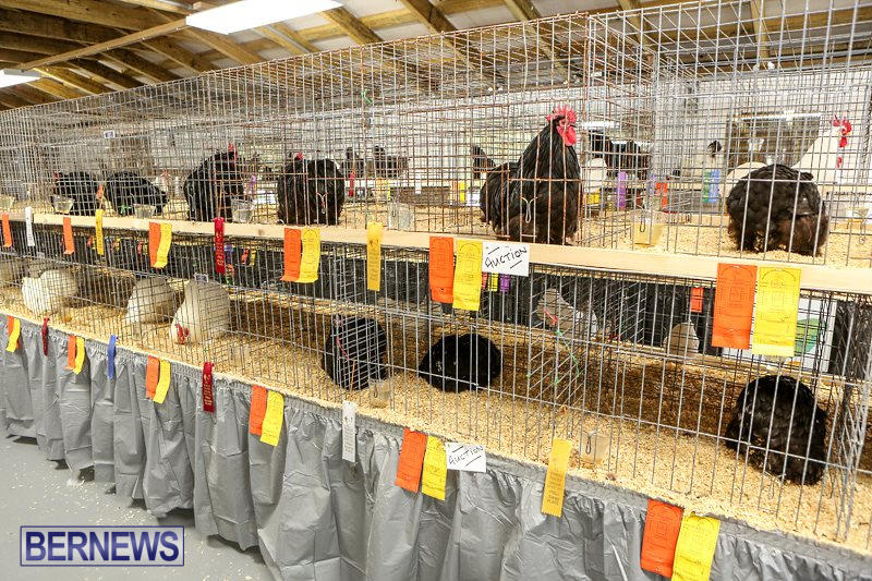 Poultry-Show-Bermuda-February-20-2016-20