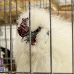 Poultry Show Bermuda, February 20 2016 (23)