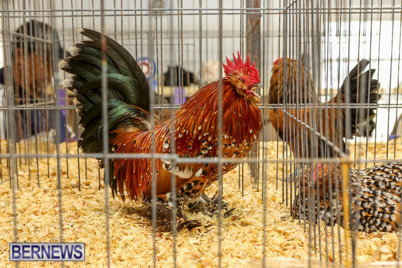 Poultry-Show-Bermuda-February-20-2016-24
