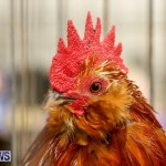 Poultry Show Bermuda, February 20 2016 (26)